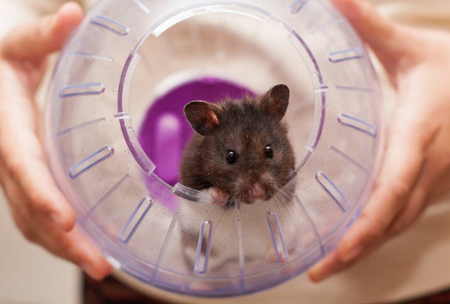 Is Hamster Ball Safe - Pros and Cons of a Hamster Exercise Ball