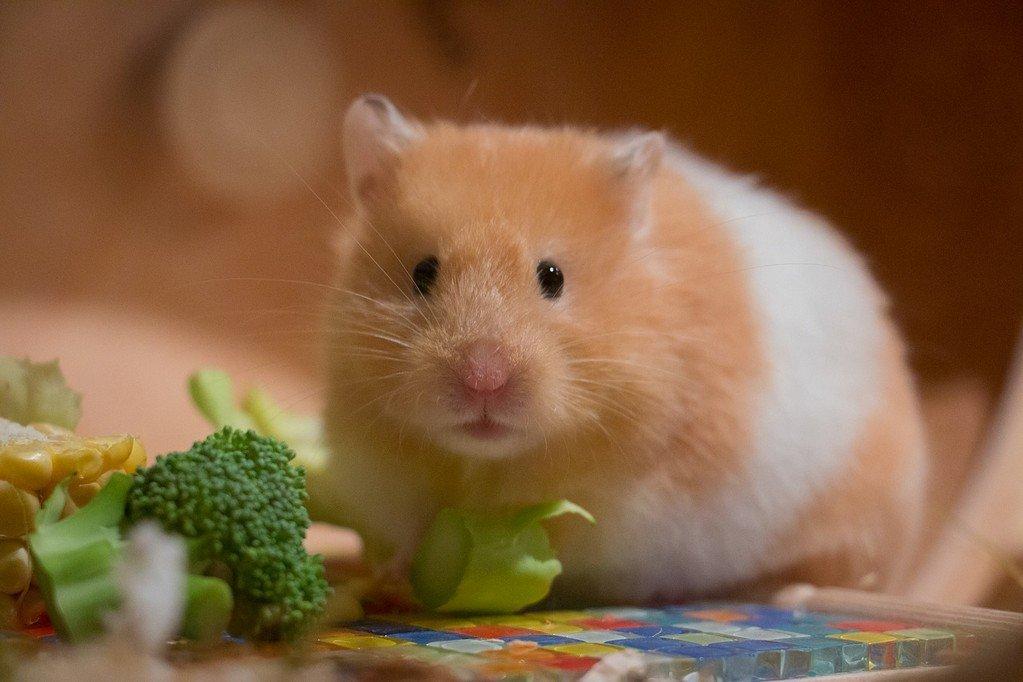 Best Hamster Food