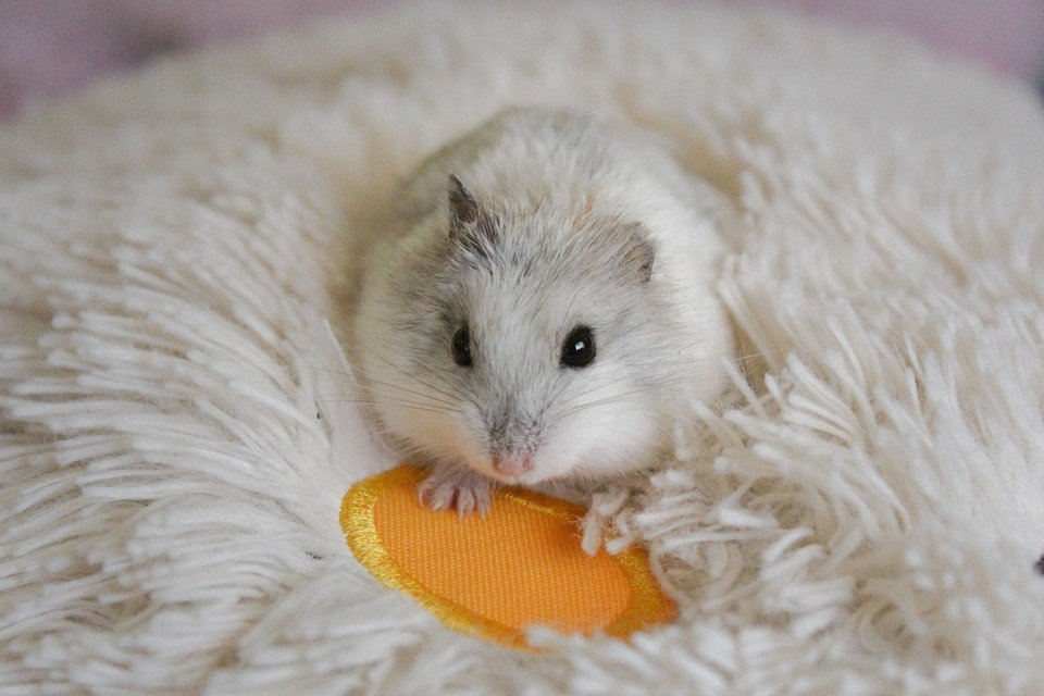 Breeds of Hamsters - What are the types of hamsters - Robowski