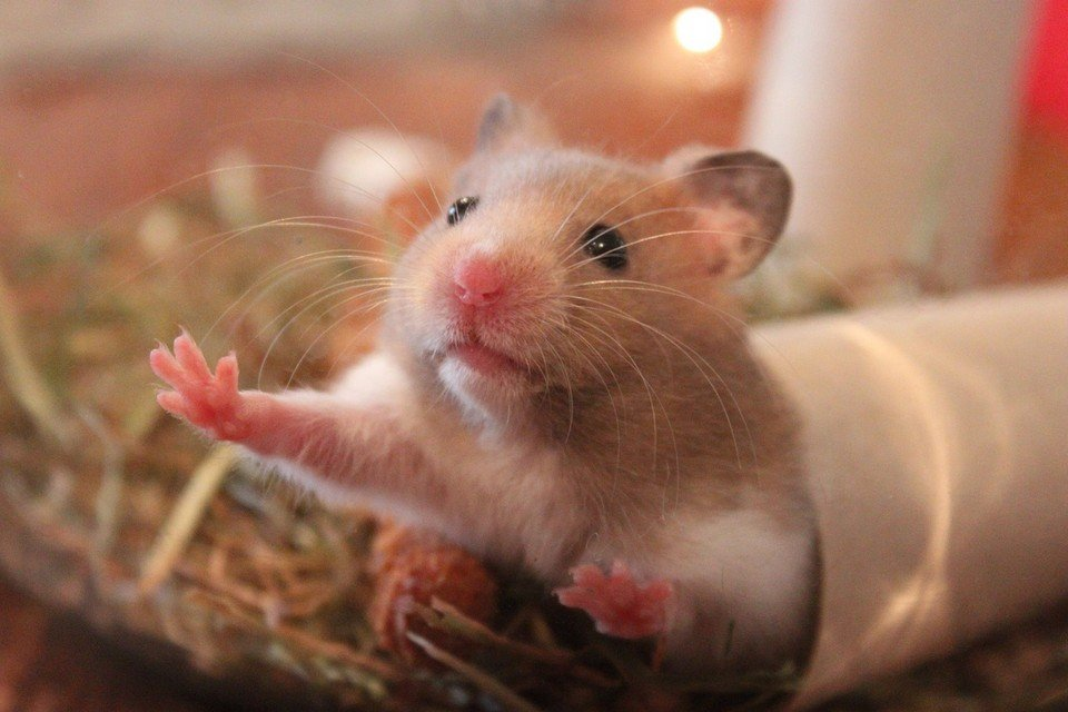 Breeds of Hamsters - What are the types of hamsters - Syrian