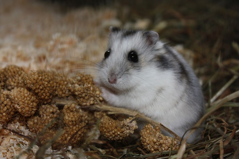 Breeds of Hamsters - What are the types of hamsters - Winter White Russian Dwarf