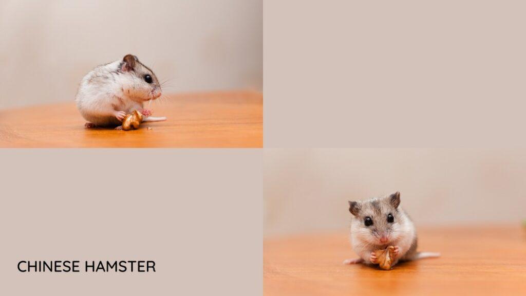 Species of hamster