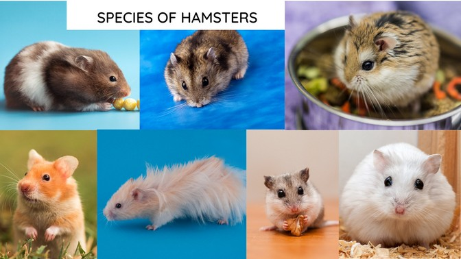 Species of hamsters