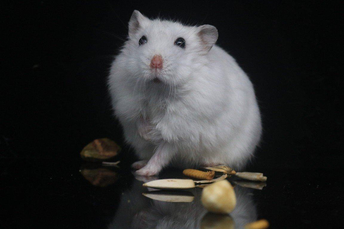 Ways on How to Find an Escaped Hamster