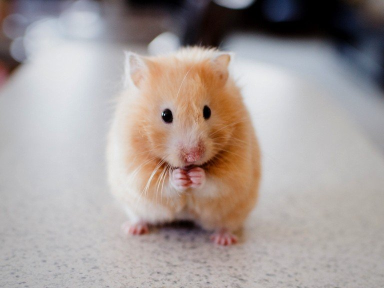 Best and Healthy Hamster Treats