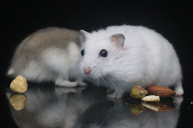 Common Hamster Illness Hamster diseases, symptoms, and remedies