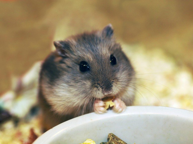 Why Rescue A Hamster? Everything About Adopting A Hamster
