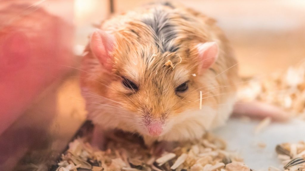 Taking Care of an Elderly - Hamster How to look after a senior hamster