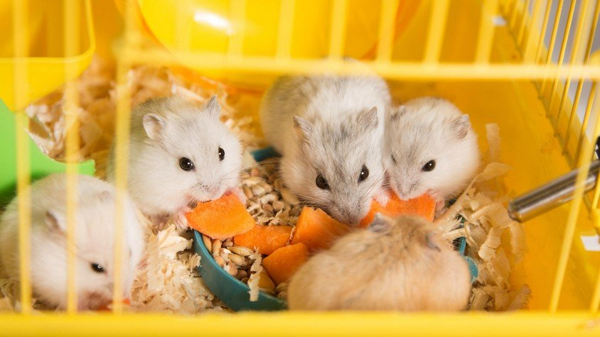 Can Hamsters Live Together in the Same Cage