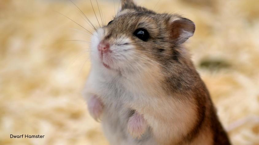 Pregnant Hamster Ultimate Guide - Accidental pregnancy