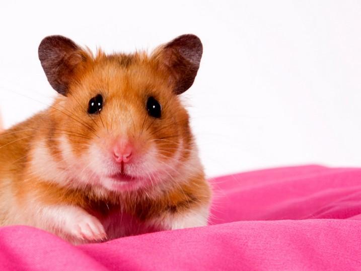 Can Hamster Swim