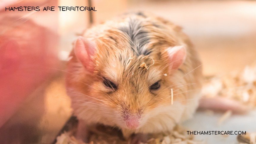 Why do Hamsters Fight