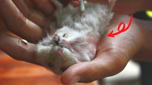 Hamster Losing Hair - Hamster fur loss causes and remedies