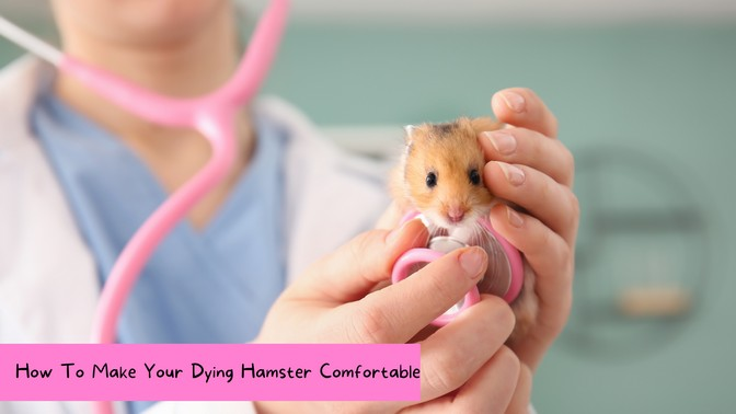 How To Make Your Dying Hamster Comfortable