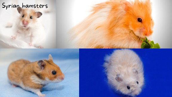Caring For Syrian Hamsters