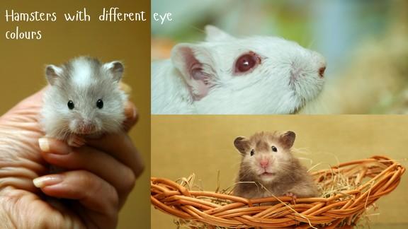 Hamster Eye Infection