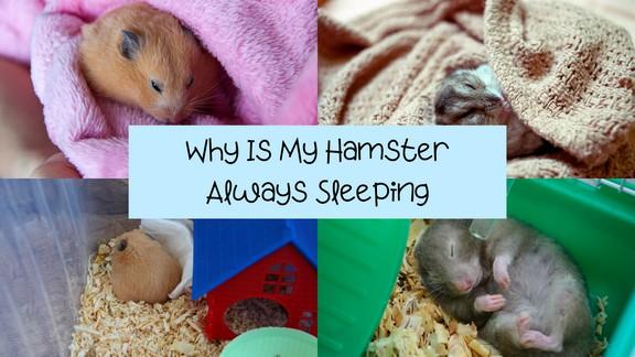 Why Is My Hamster Always Sleeping