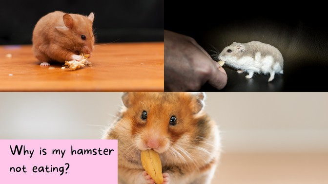 Why Is My Hamster Not Eating