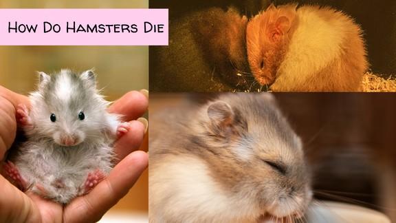 How do hamsters die
